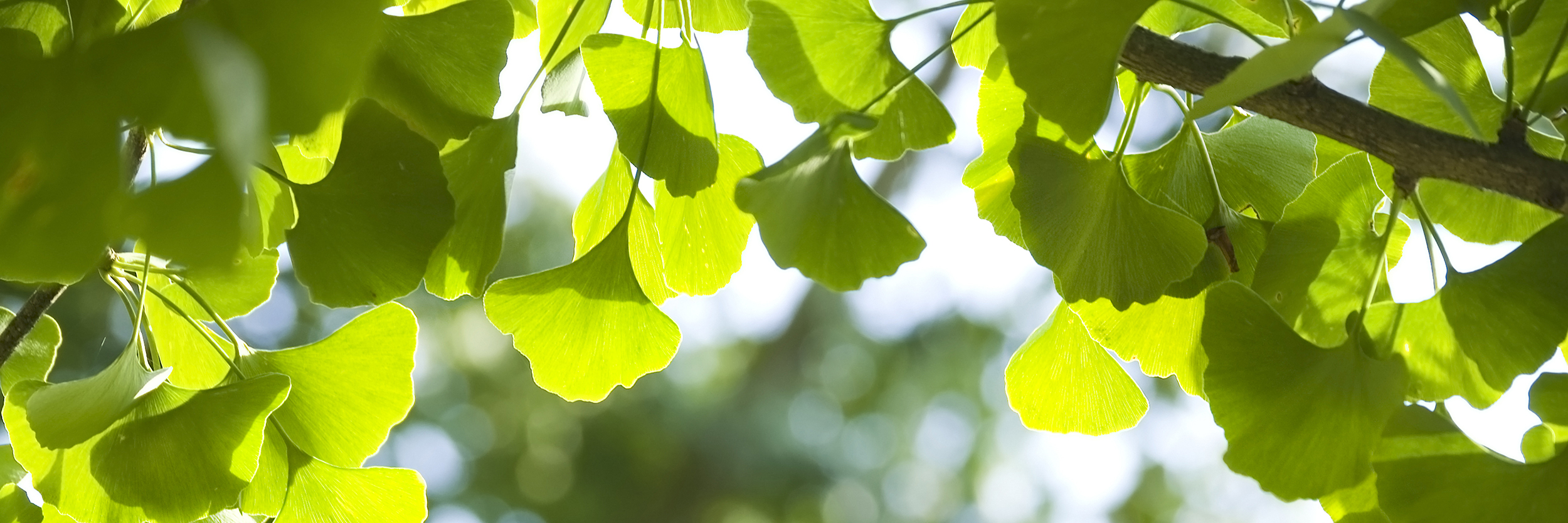 Ginkgo is an ancient tree, and a symbol of hope.